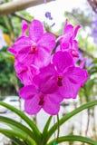 Pink vanda orchids Stock Images