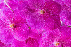 Pink vanda orchids pattern Stock Photography