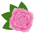 Pink vector rose on white background. Beautiful pink rose, vector illustration vector illustration