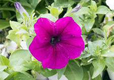 A pink veined petunia. Pictured is a closeup view of a pink veined petunia. Petunia is genus of 35 species of flowering plants. Most seen in gardens are hybrids Royalty Free Stock Photo
