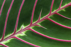 Pink Veins Royalty Free Stock Image