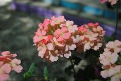 Pink verbana Royalty Free Stock Photo
