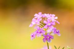 Pink verbena. Flower in garden Stock Photos