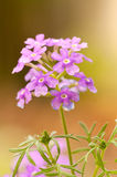 Pink verbena Stock Photo