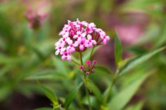 Pink Verbena ,disambiguation flower isolate in spring summer. Pink Verbena ,disambiguation flower isolate in sping sumer after raining in the morning, technical royalty free stock photo