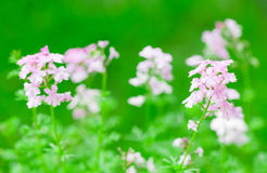 Pink verbena flower Royalty Free Stock Images