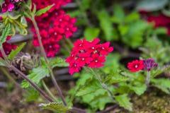 Pink Verbena. Flower in summer garden Stock Photography