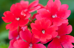 Pink verbena flowers, close up Royalty Free Stock Images