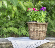 Pink verbena flowers in wicker pot on old log Stock Photo