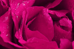 Pink vibrant rose petals with water droplets Royalty Free Stock Image