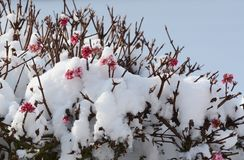 Pink viburnum flowers covered in fresh snow Royalty Free Stock Photos