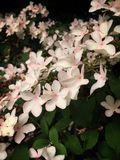 Pink viburnum. Mass of Pink viburnum blossoms cluster group Stock Photography