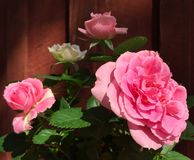 Pink victory roses against wooden background Royalty Free Stock Photography