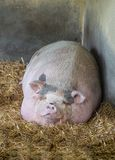 Pink Vietnamese potbellied pig Sus scrofa domesticus sleeps on straw royalty free stock photo