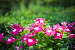 Pink Vinca. Beautiful Pink Vinca Flower In The Garden Stock Photography