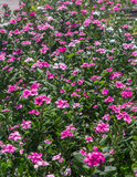 Pink Vinca flower. In garden Stock Photos