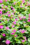 Pink Vinca Flower. Royalty Free Stock Photography