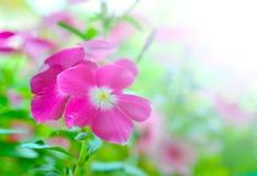 Pink vinca periwinkle flowe Stock Image