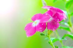 Pink vinca periwinkle flowe Royalty Free Stock Images