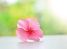 Pink vinca periwinkle flower Royalty Free Stock Image