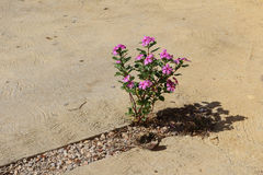 Pink vinca plant Stock Images