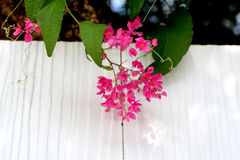 Pink Vine Royalty Free Stock Photography