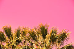 Pink vintage branches of palm trees. Against  sunset sky Stock Photography