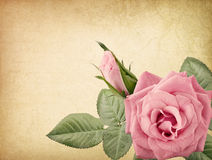Pink vintage rose Stock Photos