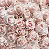 Pink vintage roses. As a square background Royalty Free Stock Photo
