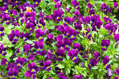 Pink  Viola Tricolor Stock Photos