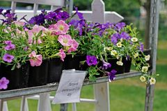 Pink and violet ampel petunias in pots stand on the shelf for sale outdoors. Translated from Russian `Ampel petunia 0,5 liters 40 RUB Royalty Free Stock Photos