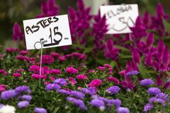 Pink and violet aster flowers background Royalty Free Stock Photo