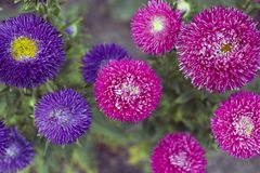 Pink and violet Asters flowers grow in garden, vintage colors Royalty Free Stock Photos