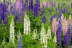 Pink, violet, blue and white Lupines Stock Photos