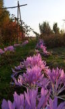 Pink and violet colchicum flowers on the meadow Stock Image