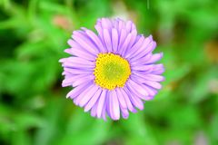 Violet Pink Daisy Closeup Aster Dumosus Violet Stock Photo. Pink Violet Daisy Closeup Aster Dumosus Violet Stock Photo royalty free stock image