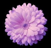 Pink-violet Flower calendula, blossoms petals light pink  with dew, black isolated background with clipping path. no shadows. Clos Stock Image