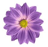 Pink-violet flower daisy on a white isolated background with clipping path. Closeup. Stock Image