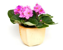 Pink violet flower in pot Stock Photography