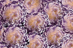 Flowers  chrysanthemum Pink-violet  . Close-up;  floral collage.  Motley  flowers composition Stock Photo