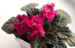 Pink Violet Stock Image