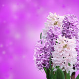 Pink and violet hyacinth Stock Images