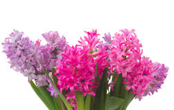 Pink and violet hyacinths Royalty Free Stock Images