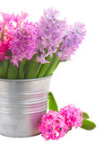 Pink and violet hyacinths Royalty Free Stock Image
