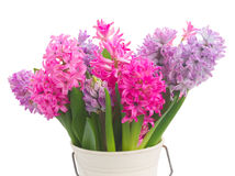 Pink and violet hyacinths Stock Photo