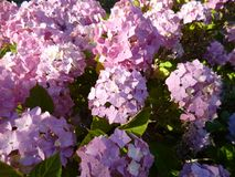 Hydrangea flowers in a garden stock photos