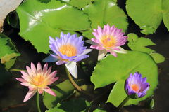 Pink and violet lotus Stock Images