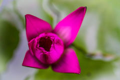 A pink violet lotus water lily beautiful flower with blurred backg Stock Images
