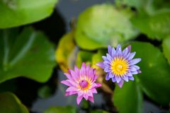 Pink and violet Nymphaea lotus. And leaf background with yellow pollen stock photography