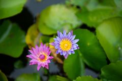 Pink and violet Nymphaea lotus. And leaf background with yellow pollen royalty free stock images